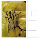Gnathocera triviattata triviattata (flower beetle) by Corbis
