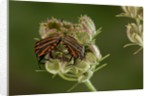 Graphosoma lineatum (striped shield bug ) - mating by Corbis