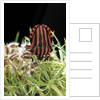 Graphosoma lineatum (striped shield bug ) by Corbis