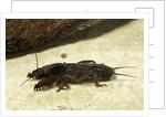 Gryllotalpa gryllotalpa (European mole cricket) by Corbis