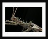 Haaniella grayii (stick insect) - portrait by Corbis