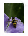 Helophilus pendulus (hoverfly, sun fly) - cleaning itself by Corbis