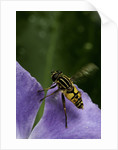 Helophilus pendulus (hoverfly, sun fly) - flying away by Corbis