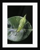 Heteropteryx dilatata (jungle nymph, Malaysian stick insect) by Corbis