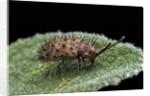 Hispa testacea (leaf beetle) by Corbis