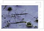 Hydrometra stagnorum (aquatic bug) by Corbis