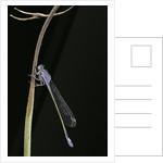 Ischnura elegans (blue-tailed damselfly) by Corbis