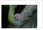 Kermes vermilio (kermes berry) - young female larva by Corbis