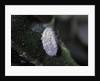 Kermes vermilio (kermes berry) - male cocoon by Corbis