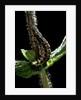 Lampyris noctiluca (common glow-worm) by Corbis