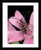 Leptura aurulenta (longhorn beetle) by Corbis