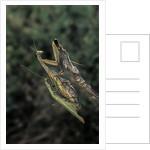 Mantis religiosa (praying mantis) - mating by Corbis