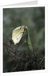 Mantis religiosa (praying mantis) - feeding on a butterfly by Corbis