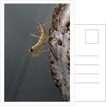 Mantis religiosa (praying mantis) - larva newly emerged from ootheca by Corbis