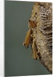 Mantis religiosa (praying mantis) - hatching by Corbis