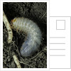 Melolontha melolontha (cockchafer, maybug) - larva or white grub in earth by Corbis