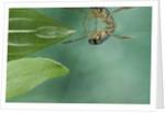 Notonecta glauca (water boatman, backswimmer) by Corbis