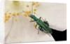 Oedemera nobilis (false oil beetle, thick-legged flower beetle) - male by Corbis