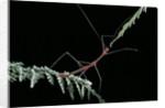 Oreophoetes peruana (peruvian fire stick) by Corbis