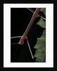 Oreophoetes peruana (peruvian fire stick) - portrait by Corbis