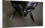 Periplaneta americana (american cockroach, waterbug, palmetto bug) - cerci by Corbis