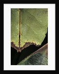 Phyllium giganteum (giant malaysian leaf insect, walking leaf) - detail by Corbis