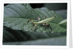 Phyllium giganteum (giant malaysian leaf insect, walking leaf) - larva by Corbis