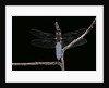 Libellula depressa (broad-bodied chaser) - male by Corbis