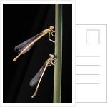 Platycnemis pennipes (white-legged damselfly) by Corbis