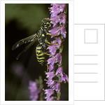 Polistes dominula (european paper wasp) by Corbis