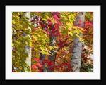 Autumn colors of maple leaves. by Corbis