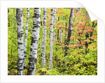 An autumn view of a birch forest in Michigan's Upper Peninsula. by Corbis