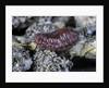 Porphyrophora hamelii (armenian cochineal, ararat scale) - female by Corbis