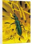 Psilothrix viridicoerulea (soft-winged flower beetle) by Corbis