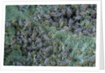 Aphids on apple leaf by Corbis
