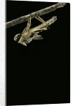 Schistocerca gregaria (desert locust) - emerging by Corbis