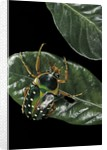 Stephanorrhina guttata (spotted flower beetle) by Corbis