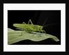 Tettigonia viridissima (great green bush-cricket) - female by Corbis