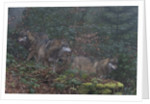 Gray wolves (Canis lupus), Bavarian Forest National Park. by Corbis
