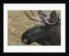 Eurasian elk (Alces alces), Bavarian Forest National Park. by Corbis