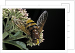 Volucella zonaria (hornet mimic hoverfly) by Corbis