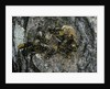 Vespa crabro (european hornet) - nest entrance in a tree trunk by Corbis