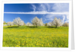 Cherry orchard in bloom by Corbis