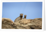 Banded Mongoose and baby by Corbis