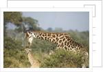 Giraffe male and calf by Corbis