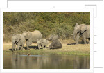 Elephant herd at waterhole by Corbis