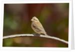 Purple Finch by Corbis