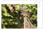 White-throated Sparrow by Corbis