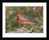 Nothern Cardinal by Corbis