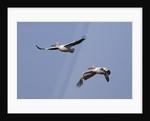 Pair of American White Pelicans in flight by Corbis